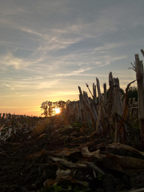 a cornfield at dusk