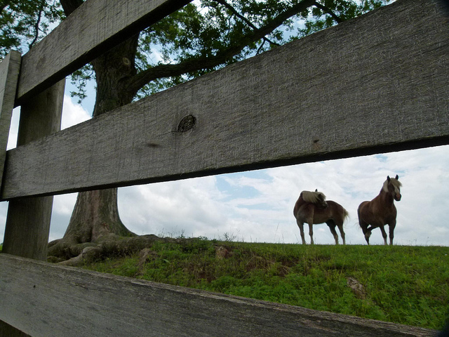 horses with fence