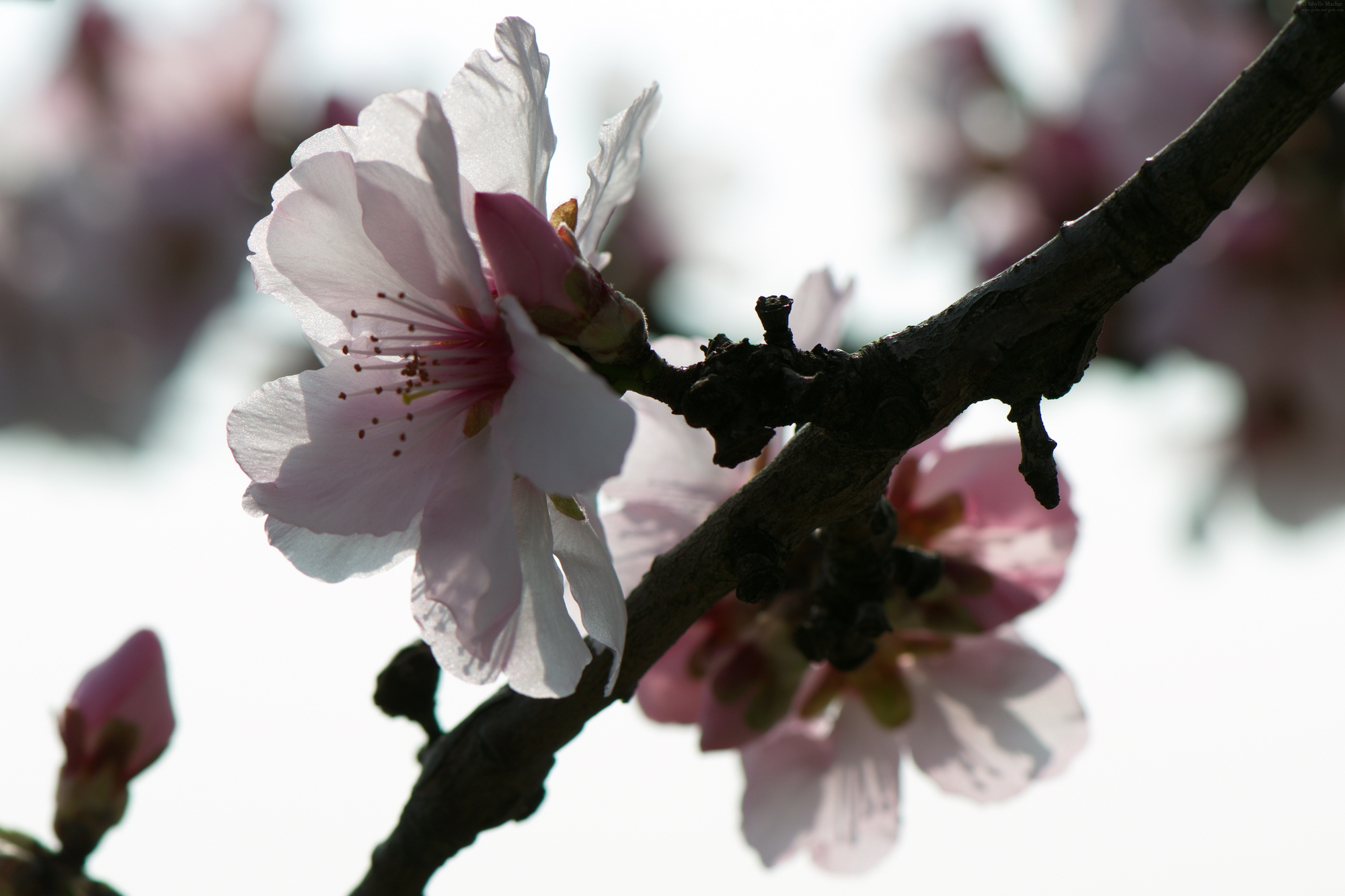 The almonds are in bloom