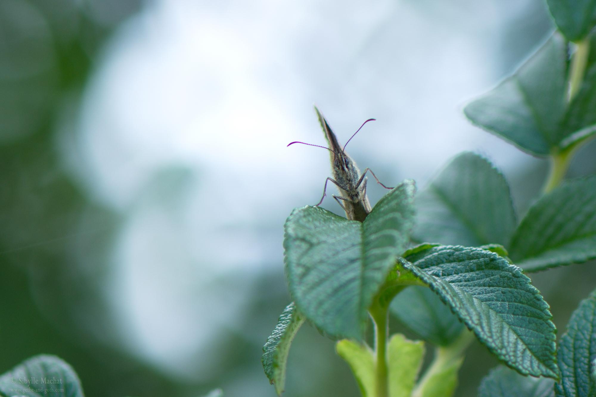 Face á la Butterfly