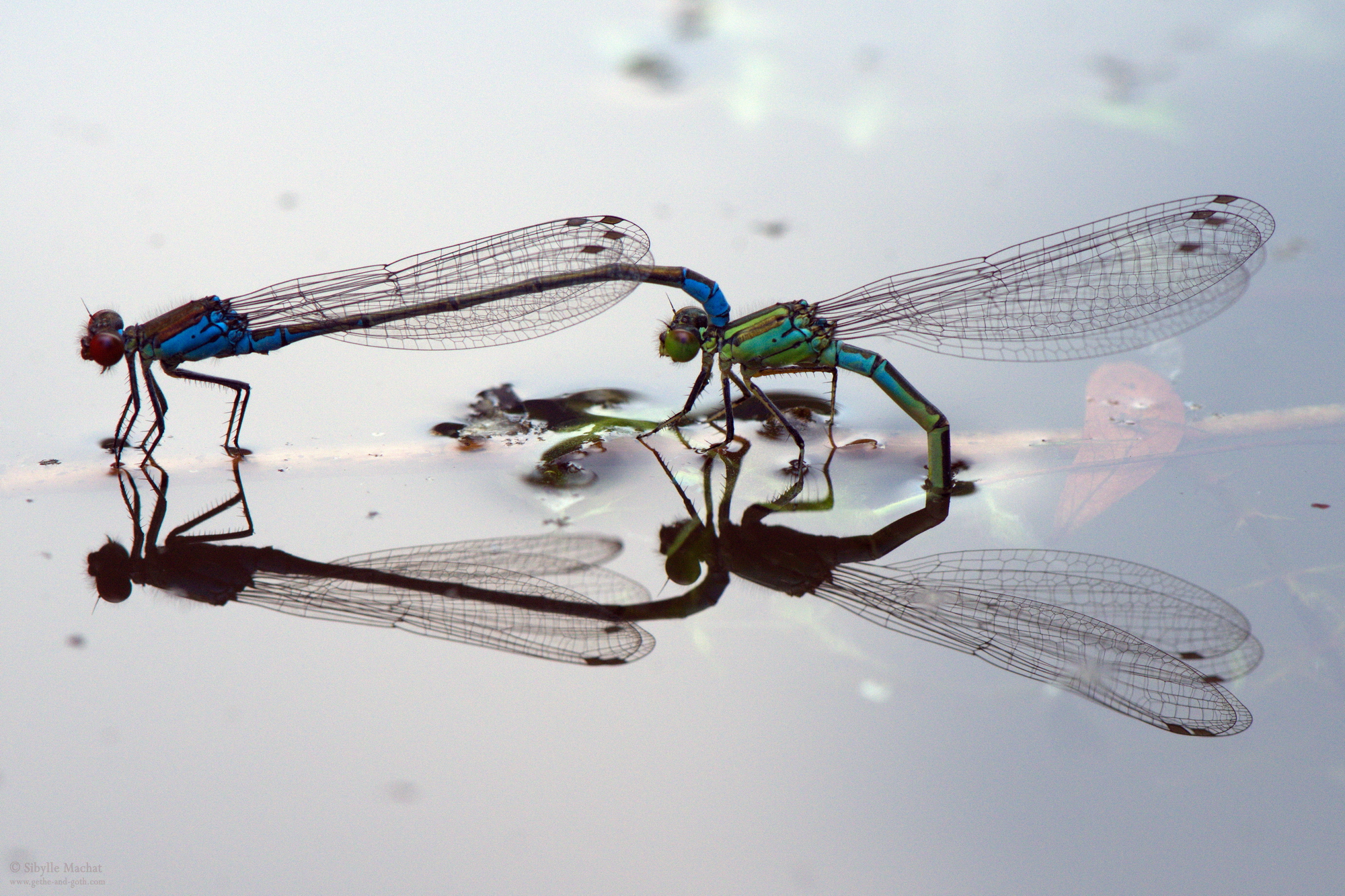 Damselfly Procreation