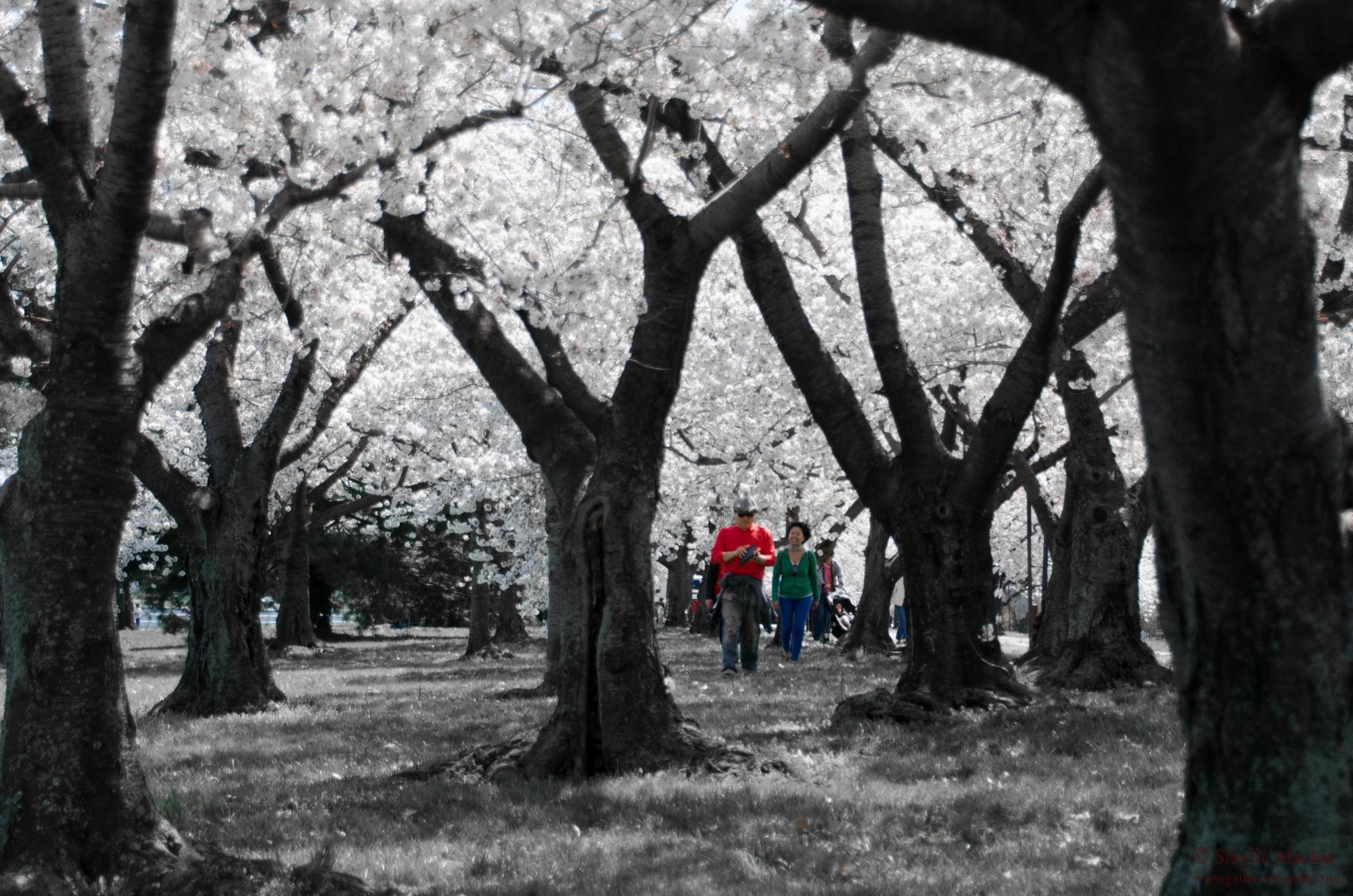 Cherry Blossom Wanderers