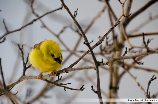The Yellowest Bird