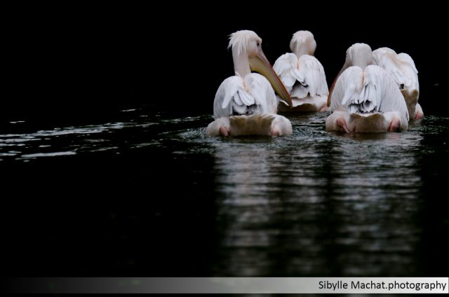 The four Pelicans