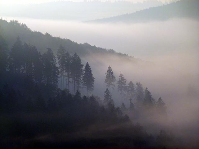 trees in fog at dawn