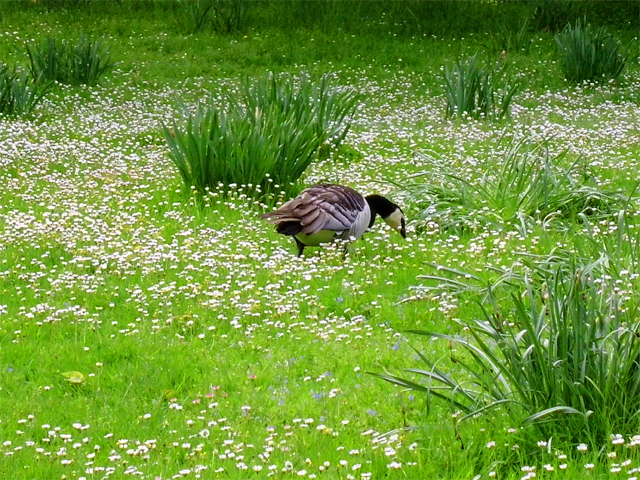 Canada Goose and Daisies