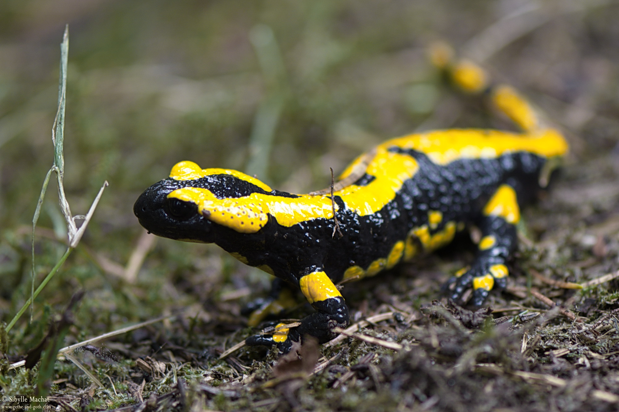 Lurchi, unser Salamander
