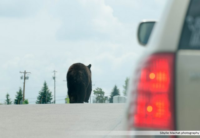 South Dakota, bear on the road