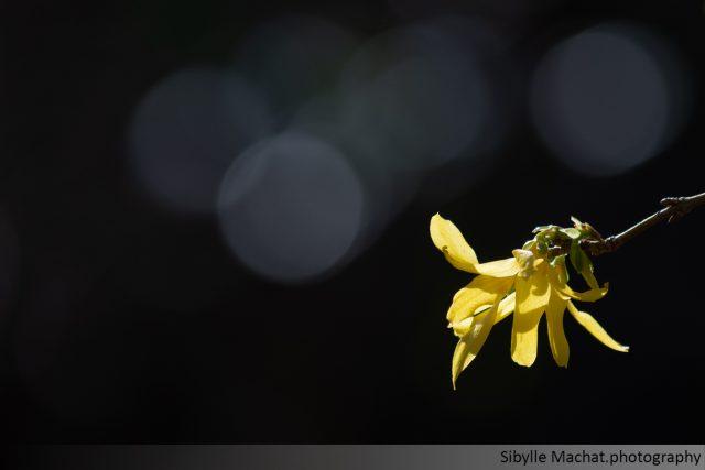a forsythia blossom